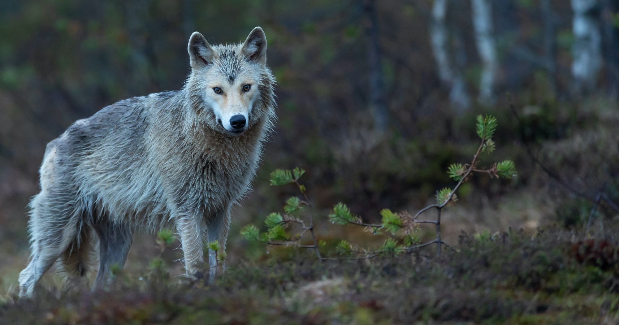 TANAP sa na Facebooku pustil do vlkov, čo v lese zožrali diviaka
